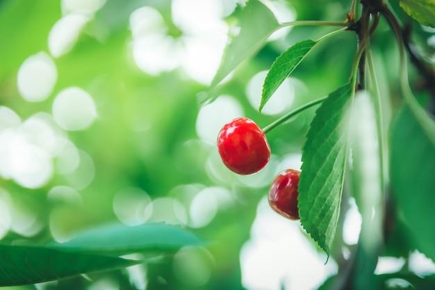 Baga de cereja vermelha em um galho no início do verão