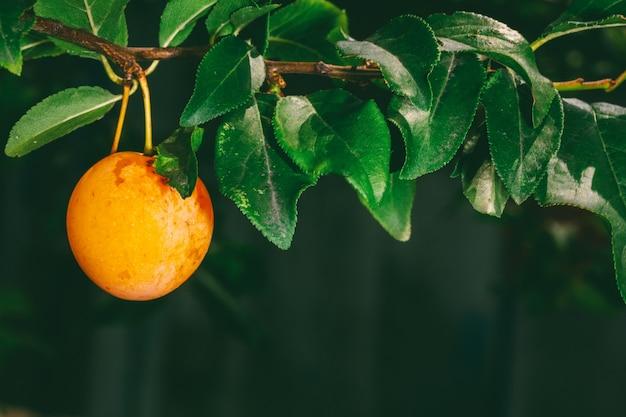 Bagas amarelas maduras da ameixa na filial com as folhas verdes no close up do jardim do verão