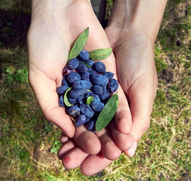 Bagas comestíveis selvagens nas mãos de meninas. madressilva