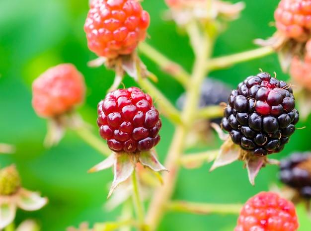 Bagas da floresta nos galhos de um blackberry.