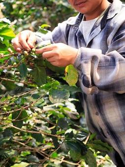 Bagas de café arábica com mãos de agricultor