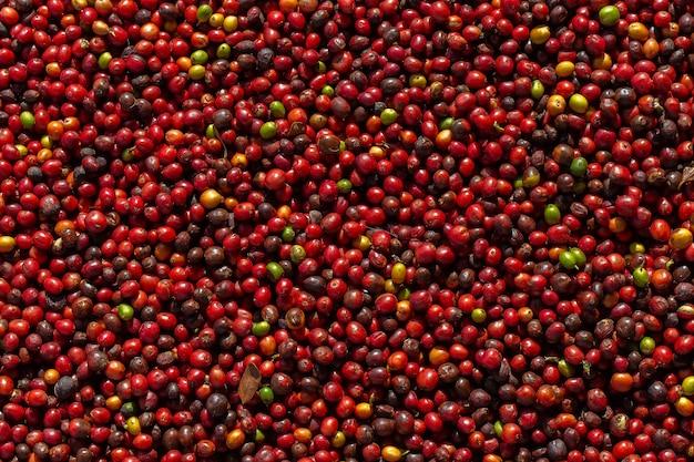 Bagas de café arábica frescas. fazenda de café orgânico