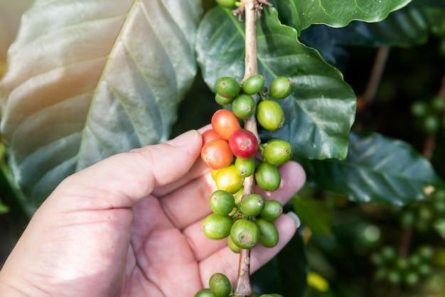 Bagas de café na árvore com a mão do agricultor