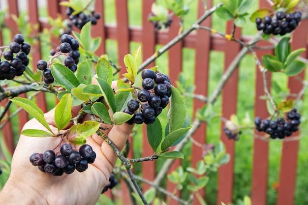Bagas de chokeberry (aronia melanocarpa ou sorveira preta) na mão dos homens no jardim no verão, pequena profundidade de foco.