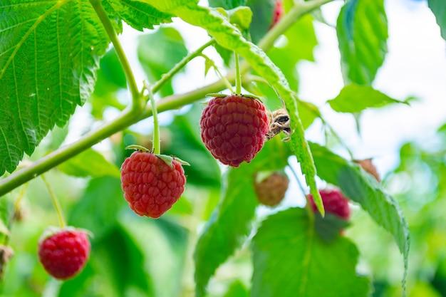 Bagas de framboesas vermelhas maduras em um arbusto