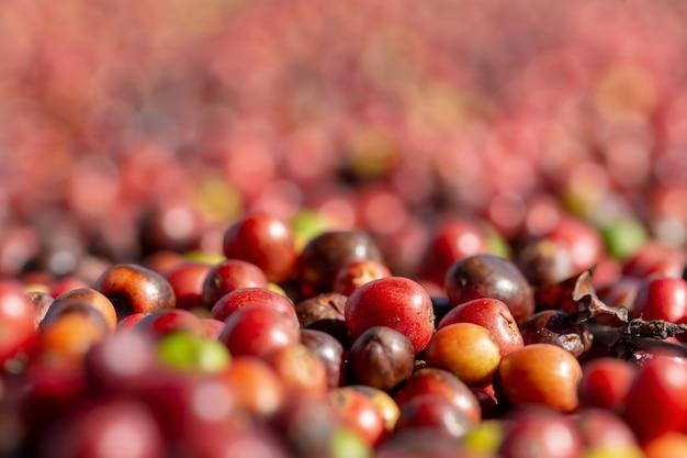 Bagas de grãos de café vermelho arábica fresca e processo de secagem