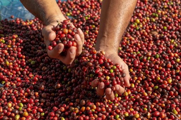 Bagas de grãos de café vermelho arábica fresca na mão e processo de secagem