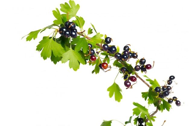 Bagas de groselha preta com folhas verdes. frutas frescas, isoladas.
