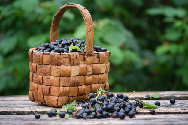 Bagas de groselha preta recém-colhidas em uma cesta de vime vintage em velhas tábuas de madeira