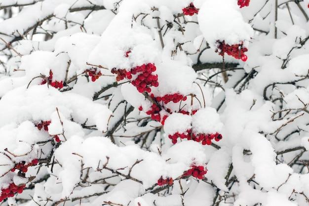 Bagas de guelder subiram sob uma espessa cobertura de neve. tempestade de neve de inverno_