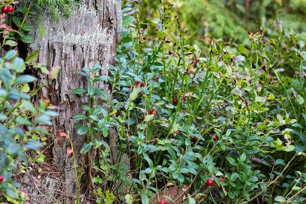 Bagas de mirtilo em um galho em uma floresta em um pântano.