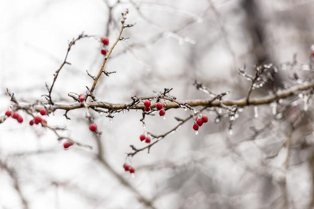 Bagas de rosa mosqueta vermelha e galhos de árvores cobertas de gelo
