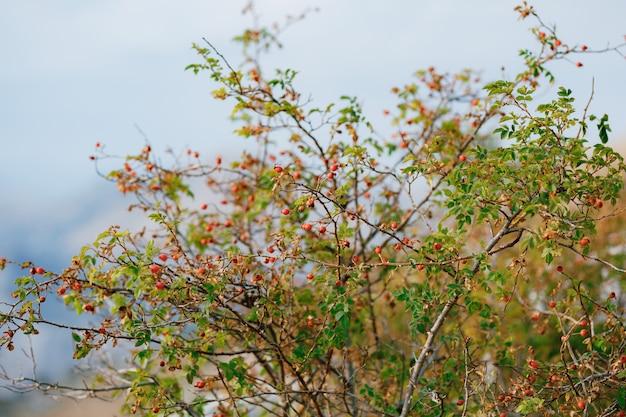 Bagas de rosa mosqueta vermelha em ramos de arbusto