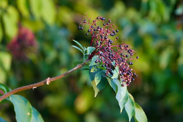 Bagas de sabugueiro preto são fotografadas em close-up em um arbusto. sambucus nigra