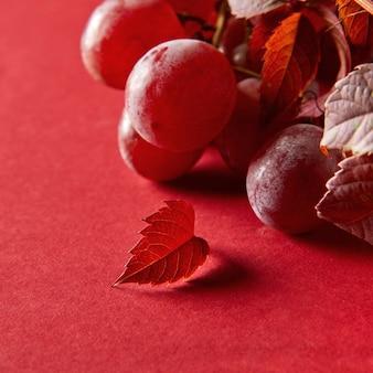 Bagas de uvas vermelhas maduras e folhas de uvas