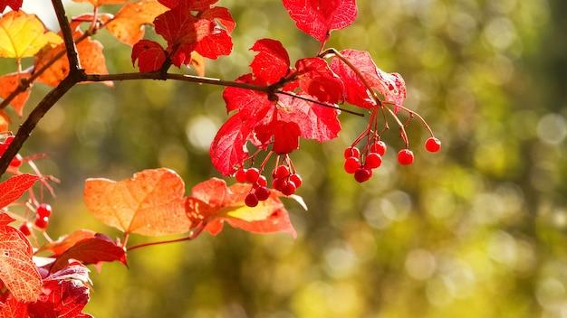Bagas de viburnum e folhas vermelhas