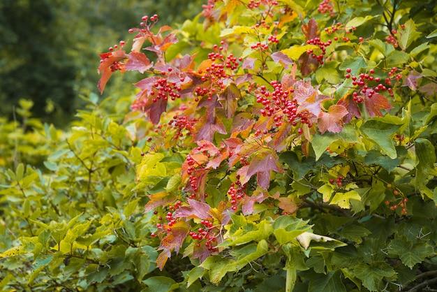 Bagas de viburnum em um arbusto em um dia de outono.