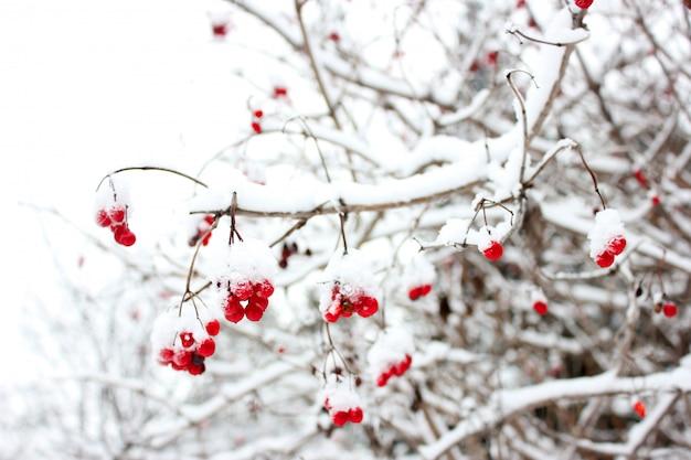 Bagas de viburnum vermelho na neve em um galho