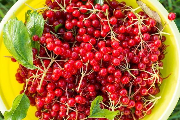 Bagas de viburnum vermelho no balde