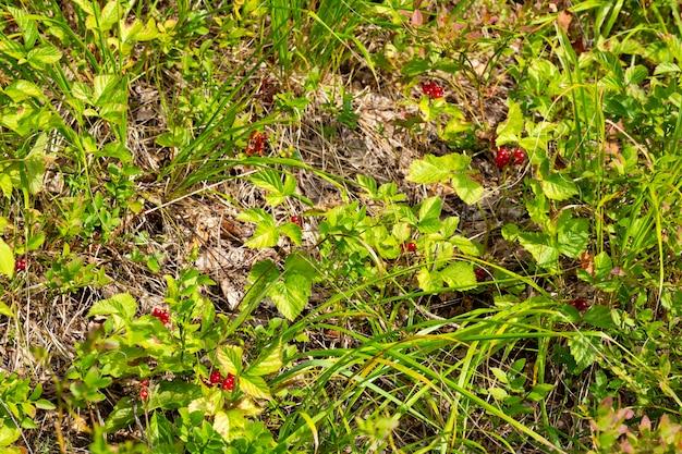 Bagas vermelhas comestíveis na floresta em um arbusto, rubus saxatilis. bagas úteis com um delicado sabor de romã em um galho Foto Premium