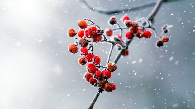 Bagas vermelhas das cinzas da montanha em um fundo cinza desfocado durante uma nevasca