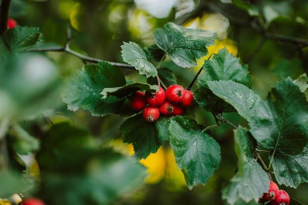 Bagas vermelhas de espinheiro em uma árvore verde