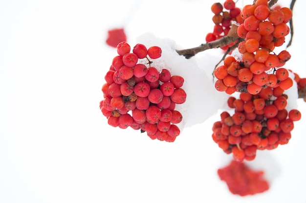 Bagas vermelhas de inverno. cachos vermelhos de sorveira cobertos de neve na neve. galho de rowanberry na neve. cachos vermelhos de sorveira cobertos com a primeira neve. fundo de inverno. paisagem do inverno com rowan vermelho brilhante.