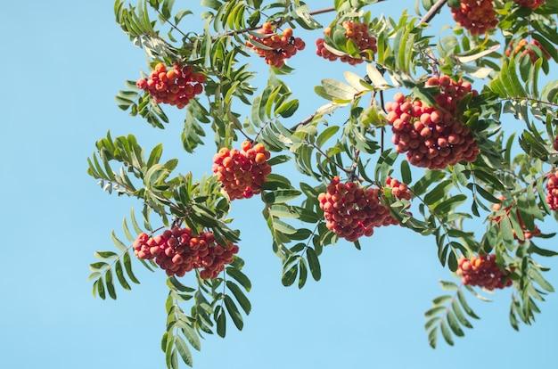 Bagas vermelhas de rowan em um galho. cinza de montanha madura na árvore outonal. fundo sazonal de outono.