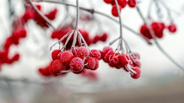 Bagas vermelhas de viburnum cobertas de geada em um fundo claro e desfocado