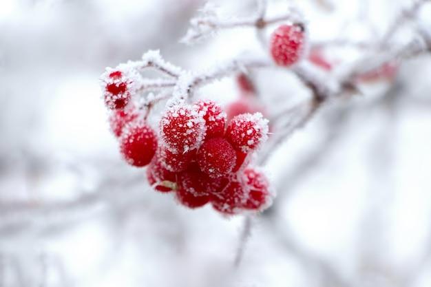 Bagas vermelhas de viburnum cobertas de geada em um fundo claro