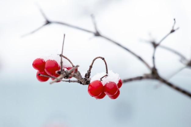Bagas vermelhas de viburnum cobertas de neve em uma árvore em um fundo claro e desfocado