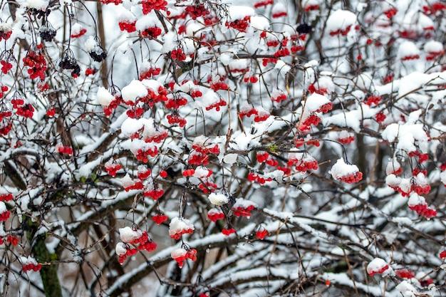 Bagas vermelhas de viburnum cobertas de neve no inverno