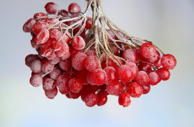 Bagas vermelhas de viburnum com cristais de gelo, sobre fundo claro