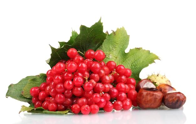 Bagas vermelhas de viburnum em caixa de madeira e castanhas isoladas em branco