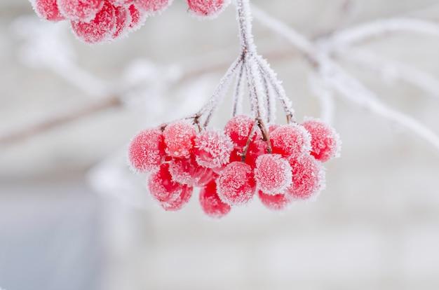 Bagas vermelhas de viburnum. guelder subiu no inverno
