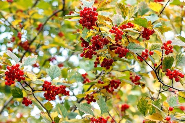Bagas vermelhas do viburnum nos ramos.