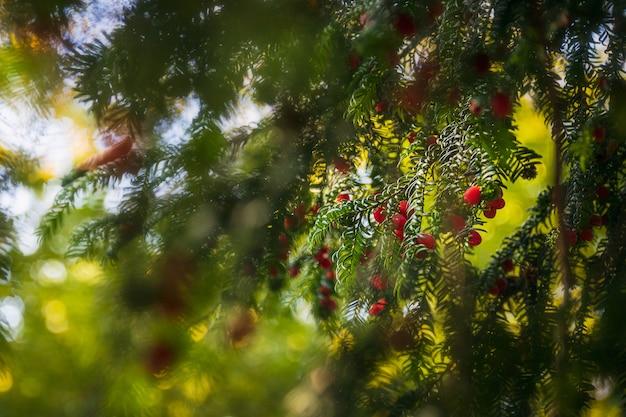 Bagas vermelhas em uma árvore do abeto e galhos embaçados na floresta