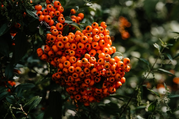 Bagas vermelhas na freixo. close-up bagas de rowan laranja madura