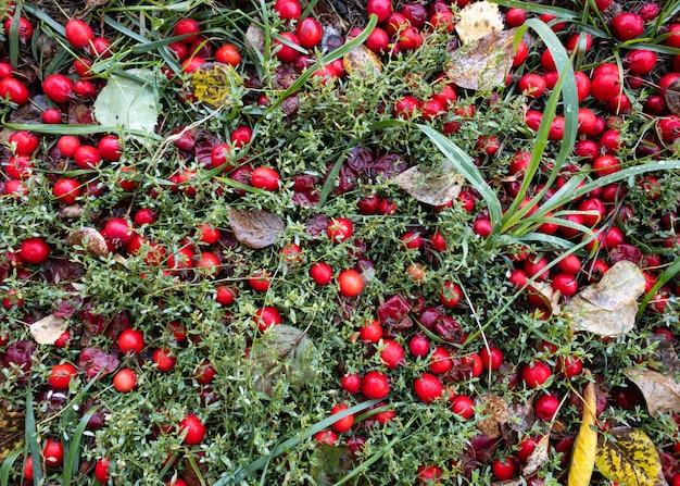Bagas vermelhas no chão na grama do outono, vista superior do fundo do outono