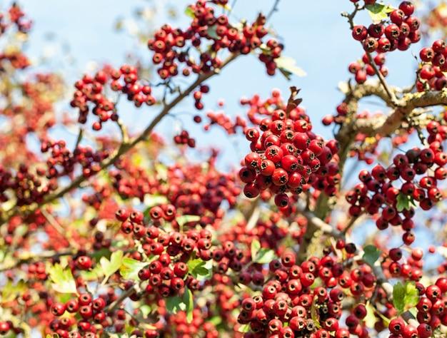 Bagas vermelhas no outono