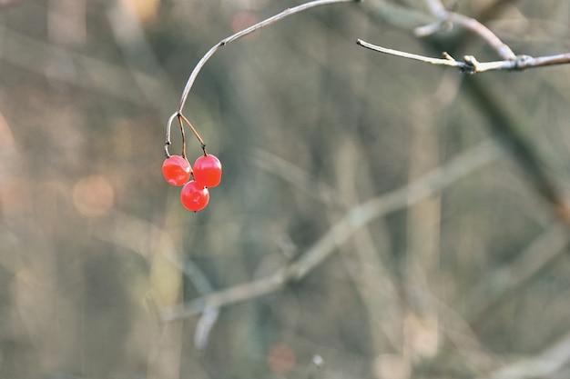 Bagas vermelhas para pássaros em um galho de árvore.