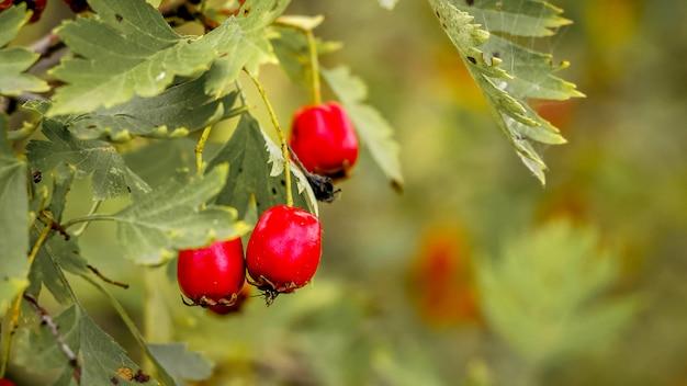 Bagas vermelhas uma rosa mosqueta em verde. rosa canina é uma planta medicinal útil