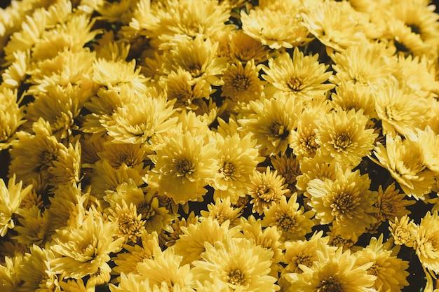 Bagunça de flores de crisântemo hardy amarelo brilhante