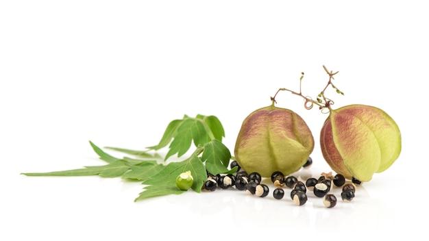 Balão de videira ou cardiospermum halicacabum frutos e sementes isoladas em branco.