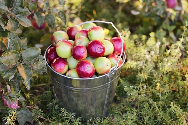 Balde com maçãs maduras no jardim de grama verde
