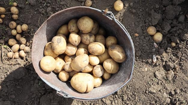 Balde de nova safra de batatas na vista superior do jardim. as primeiras batatas são colhidas pelas mãos femininas em baldes no jardim, na vida rural da aldeia.