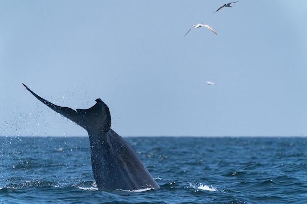 Baleia bruda nadando até a superfície, mostrando-se no golfo da tailândia