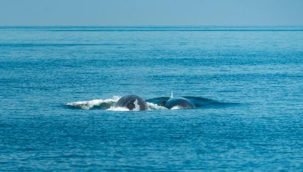 Baleia de bryde, assistindo no golfo da tailândia