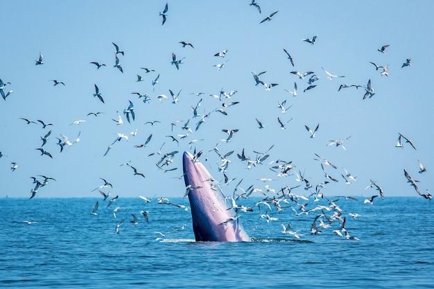 Baleia de bryde com andorinha-do-mar, baleia de eden no golfo da tailândia