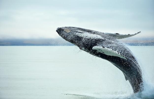 Baleia de corcunda (novaeangliae do megaptera) que rompe perto da cidade de husavik em islândia.